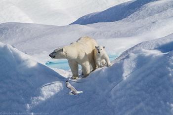 Белые медведи в фотографиях