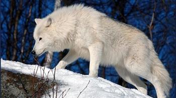 Древний символ силы и одиночества: к чему снится белый волк?