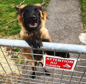 25 «злобных» собакенов, которых поставили охранять двор, но не объяснили, как это делать