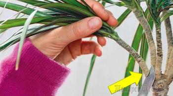 Как обрезать старую неказистую драцену, чтобы получить красивые растения