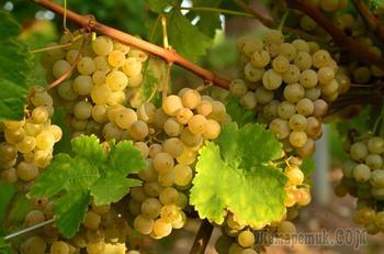 Как ухаживать за виноградом летом, чтобы он хорошо пережил зиму