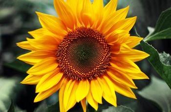 20 растений с большими цветками – яркие акценты для вашего сада