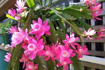 Выращиваем шлюмбергеру в домашних условиях: советы опытных цветоводов