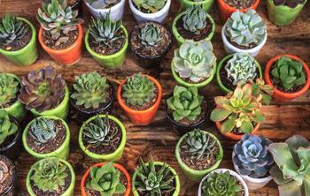 Уход и выращивание суккулентов в домашних условиях