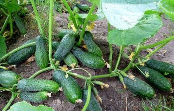 Что запрещено делать с огурцами, если не хочется лишиться урожая