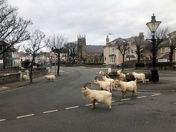 Английский город, опустевший из-за карантина, заполонили козы