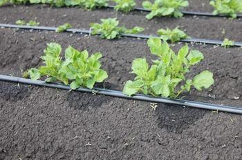Правила полива картофеля, которые позволяют получить максимальный урожай