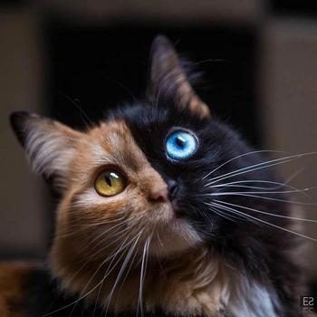 Кимера — восхитительная двуликая кошка-химера, мутация которой украдет ваше сердце