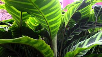 Калатея полосатая: фото и описание, посадка и уход в домашних условиях