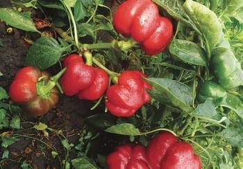 Описание сорта перца Ратунда — как поднять урожайность