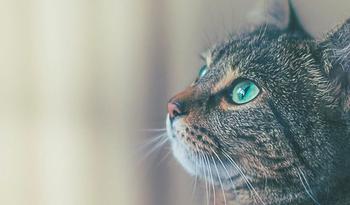 Как кошки чувствуют болезни человека и пытаются об этом предупредить