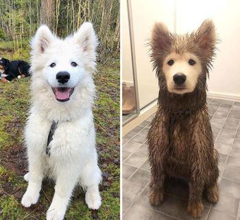 До и после прогулки или 20 смешных собак, которым только дай поваляться в грязи