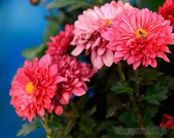 Хризантема садовая многолетняя: посадка и уход