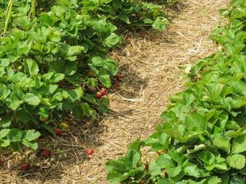 Цветы клубники и земляники чернеют: причины и решение