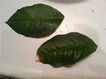 Почему у дерева лимона опадают листья