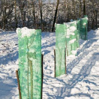 Посадили деревья осенью – как сберечь их зимой