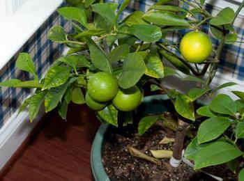 Лимон: чем подкормить деревце в домашних условиях