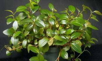 Пеперомия — выращивание и уход