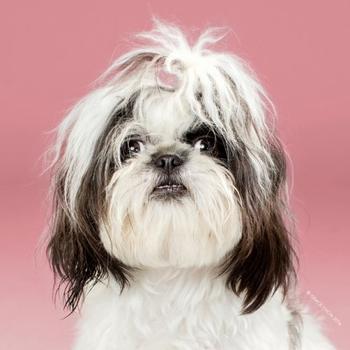 Преображение собак после посещения грумера в фотопортретах Грейс Чон