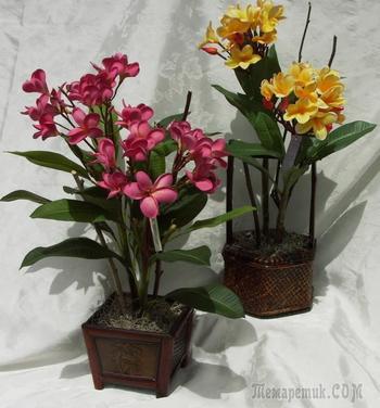 Гавайи дома: как вырастить плюмерию из семян