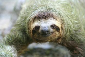 17 удивительных фактов о ленивцах — праздных и великолепных