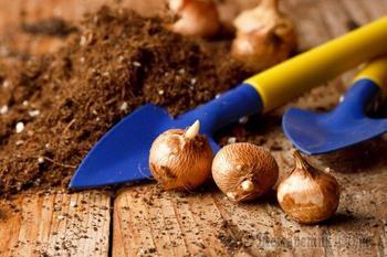 Чем болеют луковицы цветов: определяем и лечим