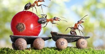 Муравьи в саду и огороде: вредят или все-таки приносят пользу?