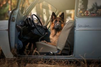 Идеальное сочетание: собаки и винтажные авто
