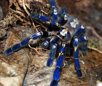 Синий паук – самый красивый паук в мире