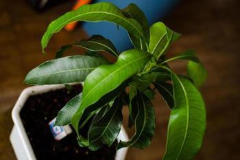 Подготовка и выращивание манго из косточки в домашних условиях