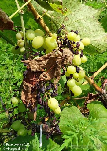 Милдью винограда – описание, фото, симптомы, препараты для лечения