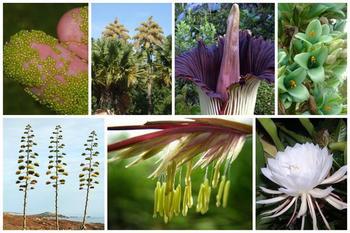 Растения, которые цветут только раз…