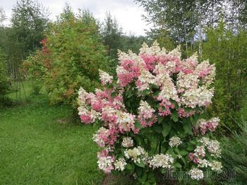 Метельчатая гортензия осенью: посадка, обрезка, подкормка, подготовка к зиме