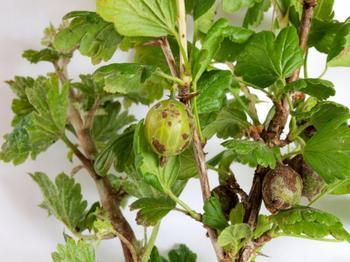 Эффективные меры борьбы с мучнистой росой на плодовых культурах