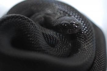 К чему снится черная змея? Размер рептилии имеет значение