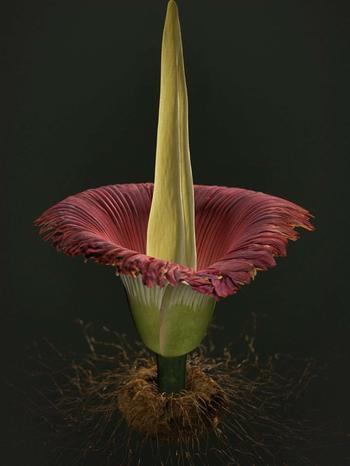 Аморфофаллус, или змеиная пальма — правила ухода в домашних условиях