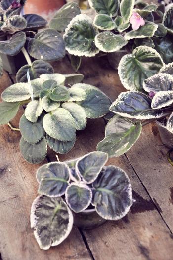 Фиалка Изольда: описание, особенности выращивания