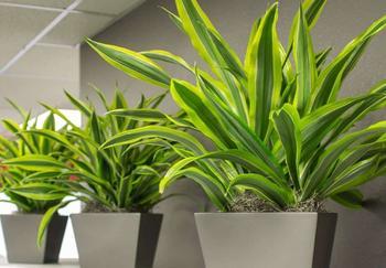 Пересадка драцены в домашних условиях и уход за растением