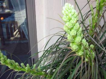 Цветок «Бокарнея»: фото, уход в домашних условиях