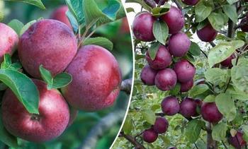 Характеристики и описание яблони сорта Спартан, выращивание и уход