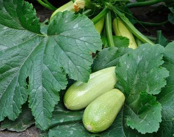Как омолодить кабачки и продлить плодоношение