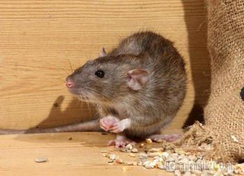 Как уберечь огород и урожай от грызунов: обзор средств от крыс и мышей