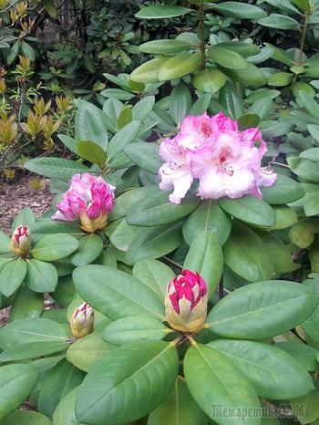 Всем, сидящим в карантине, посвящается. Глава 1. Рододендроны Минского Ботанического сада в 2020 г.