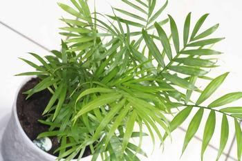 Выращивание бамбуковой пальмы в домашних условиях