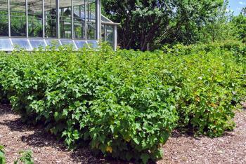 Черная смородина: выращивание, особенности ухода, обрезка и размножение, советы садоводов