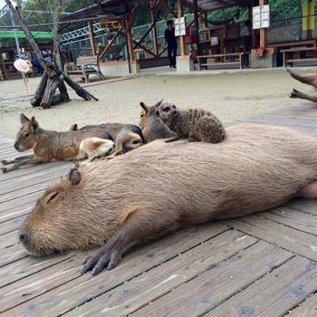 22 убедительных фотодоказательства того, что капибары являются самыми дружелюбными животными в мире