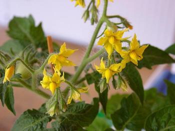 Осыпаются цветы на помидорах: что делать