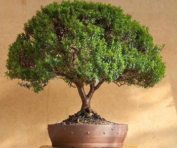 Растение изумительной красоты и пользы — мирт обыкновенный