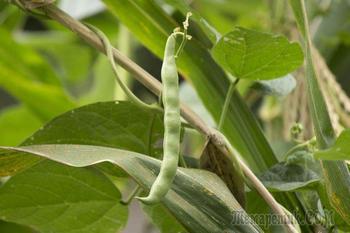 Как вырастить спаржевую фасоль в огороде