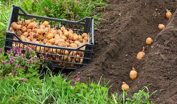 Посадка картофеля правильно с получением максимального урожая